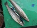 Tp. Hồ Chí Minh: Cá Đục biển Bình Thuận CL1098217