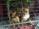 Tp. Hà Nội: Bán chó Phốc xịn 4 tháng tuổi, cún nhìn đáng yêu CL1056880