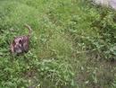 Tp. Hồ Chí Minh: Chó Phú Quốc vện cái, 8 tháng, xoáy kiếm, lưỡi đen, đơn giản như trong hình CL1064667