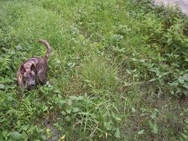 Chó Phú Quốc vện cái, 8 tháng, xoáy kiếm, lưỡi đen, đơn giản như trong hình