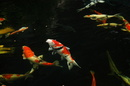 Tp. Hồ Chí Minh: Cá koi Nhật , cá koi đẹp, Cá Koi đuôi dài ,Cá Koi TP HCM Cá koi Bướm, Cá Koi đuô CL1064771