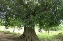 Tp. Hà Nội: Bán cây xanh 65 tuổi cho biệt thự lớn, khu thương mại CL1064771
