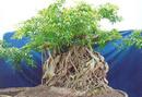 Tp. Hồ Chí Minh: Dư dùng bán 1 cây Sanh hải hậu (độc thạch), đường kính(hòn đá) 1,7m, CL1064771