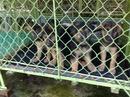Tp. Hồ Chí Minh: Bán bầy chó con Berger thuần chủng 2 tháng tuổi, đã chủng ngừa. CL1064667