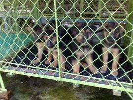 Bán bầy chó con Berger thuần chủng 2 tháng tuổi, đã chủng ngừa.