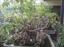 Tp. Đà Nẵng: Cần bán một vườn cây cảnh 500m2 gồm: 6 chậu sanh đại, 4 chậu sanh lớn, 27 chậu CL1064771