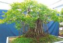 Tp. Hồ Chí Minh: Gia đình có 1 cây cảnh rất đẹp, không người chăm sóc, bán lại giá tốt, cây sanh CL1064771
