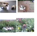 Tp. Hồ Chí Minh: Bán chó con, chó nhật và chó nhật lai chihuahua CL1072522