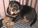 Tp. Hồ Chí Minh: bán chó rottweiler 2 tháng CL1072522