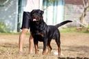 Tp. Hồ Chí Minh: Bán chó Rotweiler con thuần chủng cha mẹ nhập CL1072522