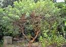 Tp. Đà Nẵng: Cây ổi được 50 tuổi, cao 1,2m, hàng độc, cây rất đẹp, lá cây chữa nhiều loại bệnh CL1064771