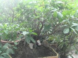 Cần bán cây lộc vừng bon sai, hình thù giống con ếch, rất lạ/ hoa màu đỏ tươi