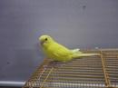 Tp. Hồ Chí Minh: Bán chim tại TP. HCM. 2 chào mào và 1 cặp yến phụng, em lồng vàng giá 150k CL1075778