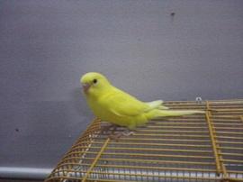 Bán chim tại TP. HCM. 2 chào mào và 1 cặp yến phụng, em lồng vàng giá 150k