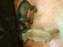 Tp. Đà Nẵng: Bán chó con Phú Quốc, thuần chủng, lứa thứ 2, được 2 tháng tuổi, màu đen tuyền, CL1072522