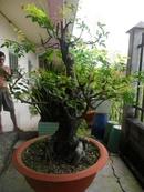 Tp. Hồ Chí Minh: Gia Đình bán 1 cây Khế Cổ Thụ. khoảng 70 năm tuổi CL1088731P11