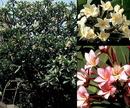 Tp. Cần Thơ: Mua Hoa Sứ ( hoa Đại) khô CL1068333