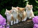 Tp. Hồ Chí Minh: Bán 3 chú mèo , hai con trắng, một con trắng & khoang vàng. CL1072522