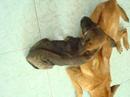 Tp. Đà Nẵng: Bán chó con Phú quốc , 2 tháng tuổi , thuần chủng, có 3 màu : đen tuyền, đốm CL1072522