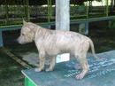 Tp. Hồ Chí Minh: Bán các bầy cún con giống Phú Quốc thuần chủng CL1072522