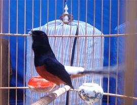 Bán chim Chích Chòe Lửa Tây nguyên.