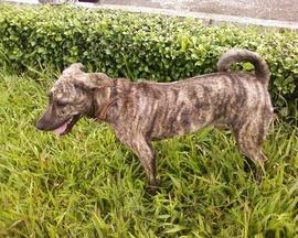 Chó vện Bắc đảo, giống đực, 5 tháng, xoáy kiếm dài và đẹp, chuyên canh nhà