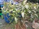 Tp. Hồ Chí Minh: Bán cây trà xanh chơi cảnh và hái lá nấu nước uống CL1081697