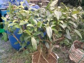 Bán cây trà xanh chơi cảnh và hái lá nấu nước uống