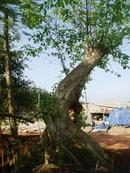 Đồng Nai: Bán cây sung dáng đẹp. LH: Nguyễn Văn Triều CL1078890