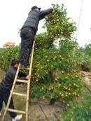 Tp. Hà Nội: Quất cảnh hùng huê chuyên cung cấp các loại quất dành cho dịp lễ tết CL1072832