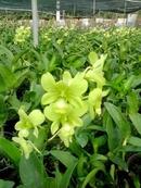 Tp. Hồ Chí Minh: Cung cấp hoa lan cho gia đình vào dịp tết CL1081212