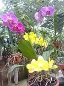 Tp. Hồ Chí Minh: Siêu thị hoa lan tím CL1082688