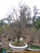 Tp. Đà Nẵng: Cần bán gấp vườn mai CL1082688