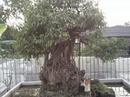 Tp. Hà Nội: Cần bán cây cảnh rẻ đẹp. CL1084363