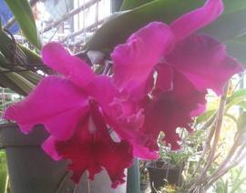 Hoa lan tím chuyên cung cấp hoa lan và vật tư ngành hoa