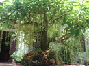An Giang: Tôi có cây Lộc Vừng số lượng hơn 100 cây cần bán CL1084363