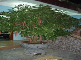 Cần bán cây Lộc Vừng vóc dáng bonsai giá tốt