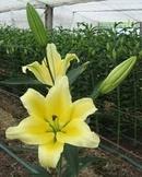 Tp. Hà Nội: Phân phối hoa tươi trực tiếp từ Đà Lạt ! CAT2_45P9