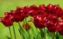 Tp. Hà Nội: Chuyên cung cấp hoa tulip phục vụ tết 2012 CL1083008