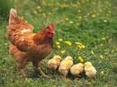Đồng Nai: Chuyên bán Gà Ta con giống gà tốt giá cực rẻ! CL1216024P6