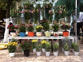 Hoa Ly Chậu Đà lạt tết Vườn nhà , Giá gốc , Giao hàng tận nơi.