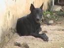 Tp. Hồ Chí Minh: Chó Phú Quốc đực, đen toàn thân, xoáy đao (đều và đẹp), lớn con, hơn 12 tháng tuổi RSCL1029045