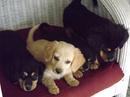 Tp. Hồ Chí Minh: Bán bầy chó cocker lai, hai tháng tuổi, đã chích ngừa và sổ lãi, 3 cái 2 đực CL1089877