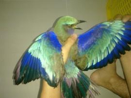 Cần bán chim cảnh đẹp, màu sắc sặc sỡ, giống chim quý hiếm độc đáo