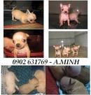 Tp. Hồ Chí Minh: chó chihuahua, lạ xưởng, chó pug bán đây CL1089877