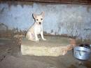 Tp. Hồ Chí Minh: Chó Phú Quốc màu đẹp dễ thương CL1089877