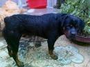 Tp. Hà Nội: Bán chó rottweiler 15 tháng tuổi CL1089877