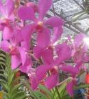 Tp. Hồ Chí Minh: Điện hoa valentine của hoa lan tím CL1088805