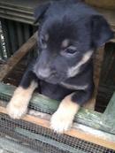 Tp. Hà Nội: Bán chó con CL1089877
