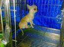 Tp. Hồ Chí Minh: Hcm- Nhận Phối chihuahua thuần chủng mini gốc Mexico giá rẽ, bao đậu or lấy baby CL1089877